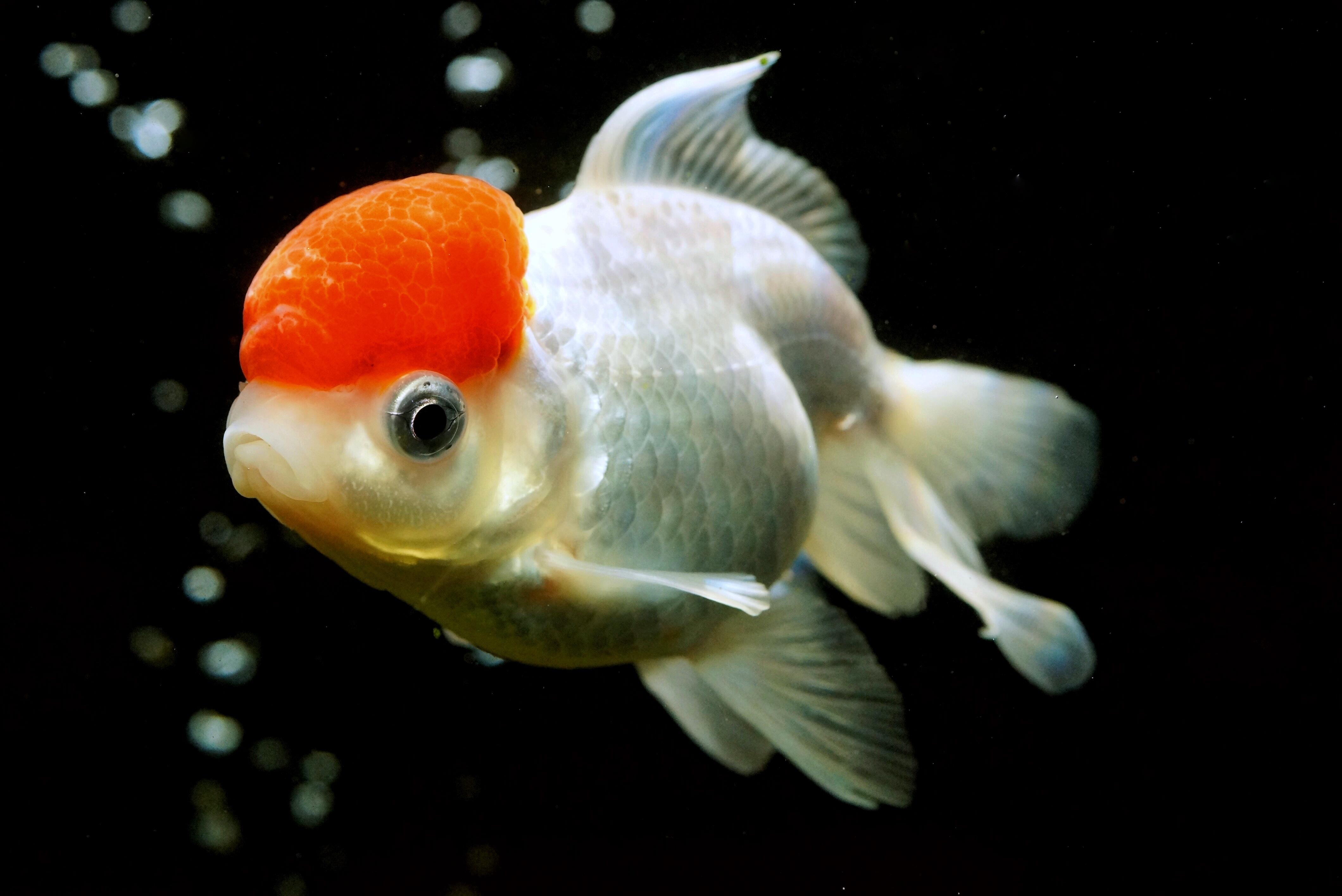金鱼面点做法图解