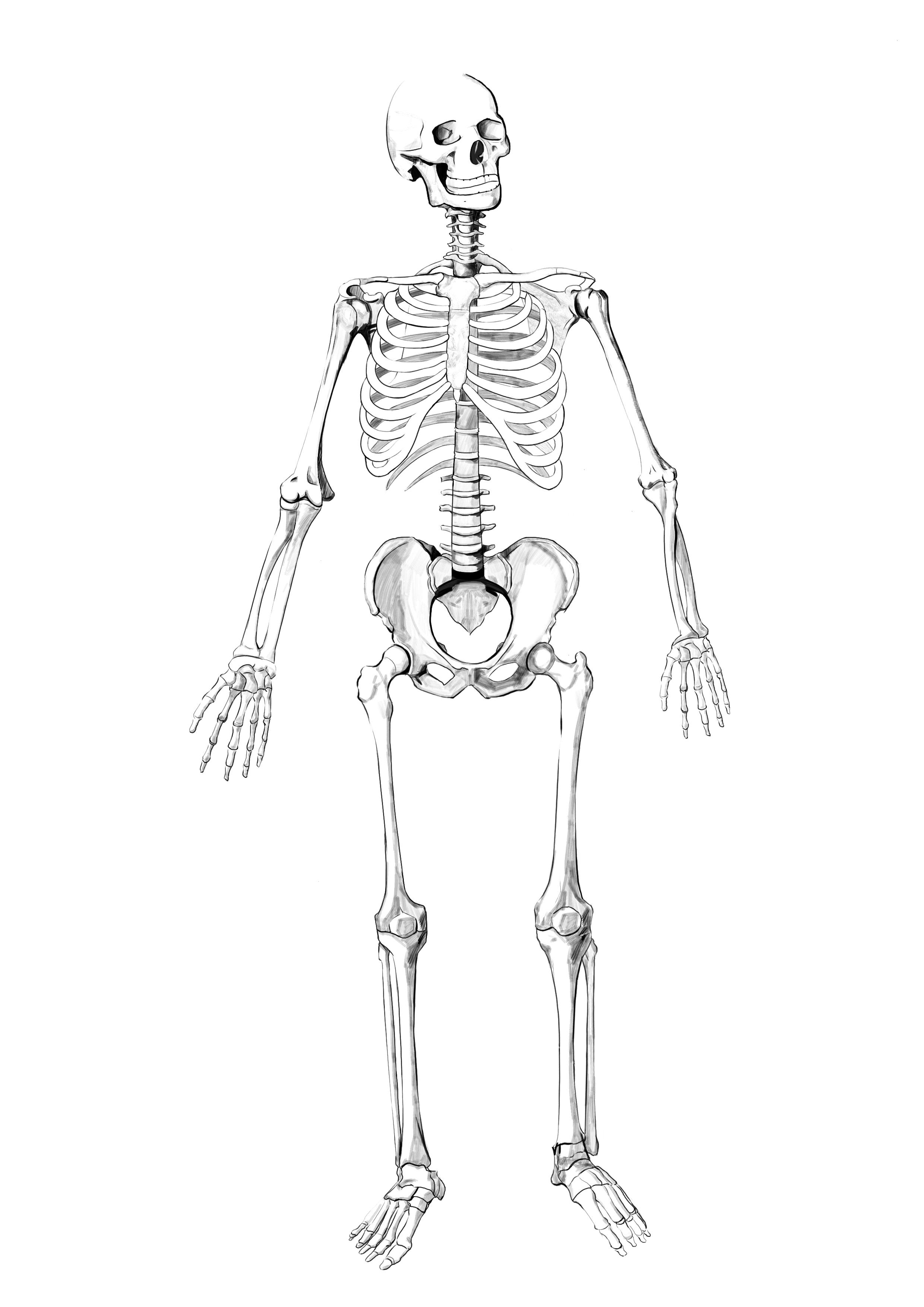 临摹 人体骨骼全身