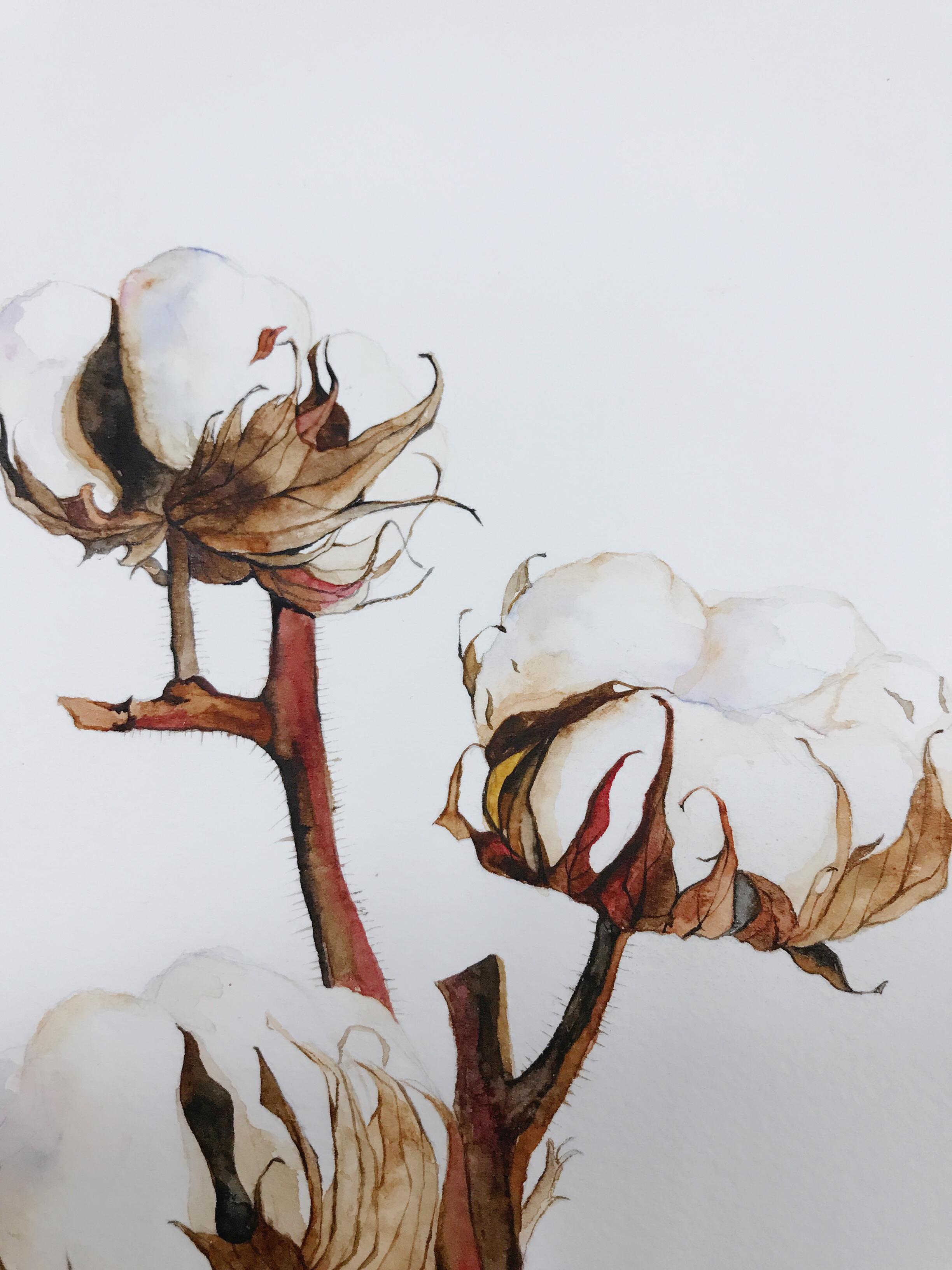 棉花幼根的结构图
