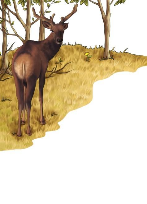 写实动物插画,麋鹿,儿童插画,科普插画