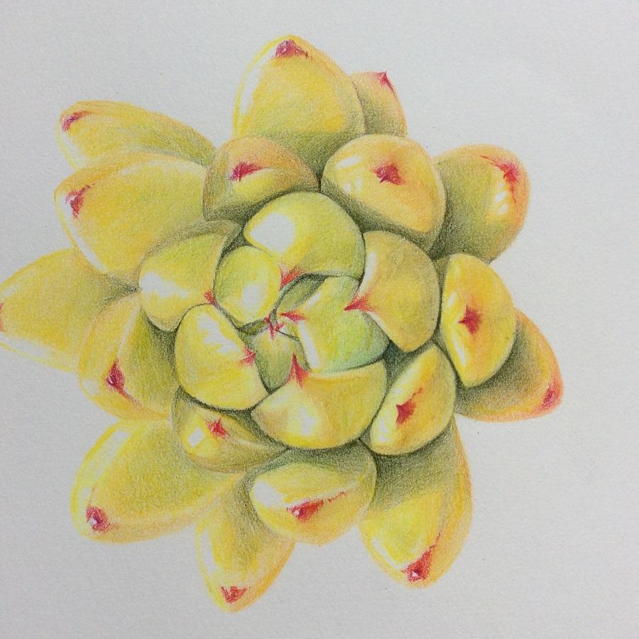 手绘多肉植物《黄金玛利亚》|彩铅|纯艺术|鸩山