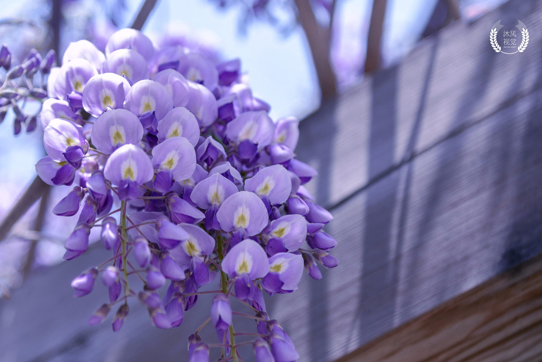 紫藤花画法步骤图-紫藤花