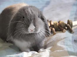 摄影 孚孚首张个兔写真(垂耳兔 宠物摄影)