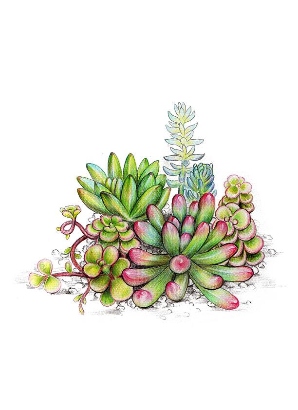 多肉植物绘