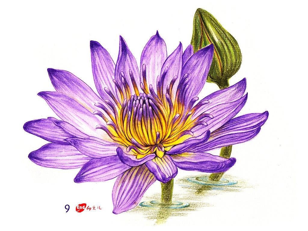 水溶彩铅花卉《睡莲》简易教程