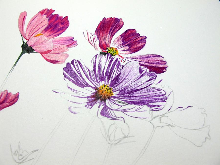 彩铅手绘—波斯菊|绘画习作|插画|isidora