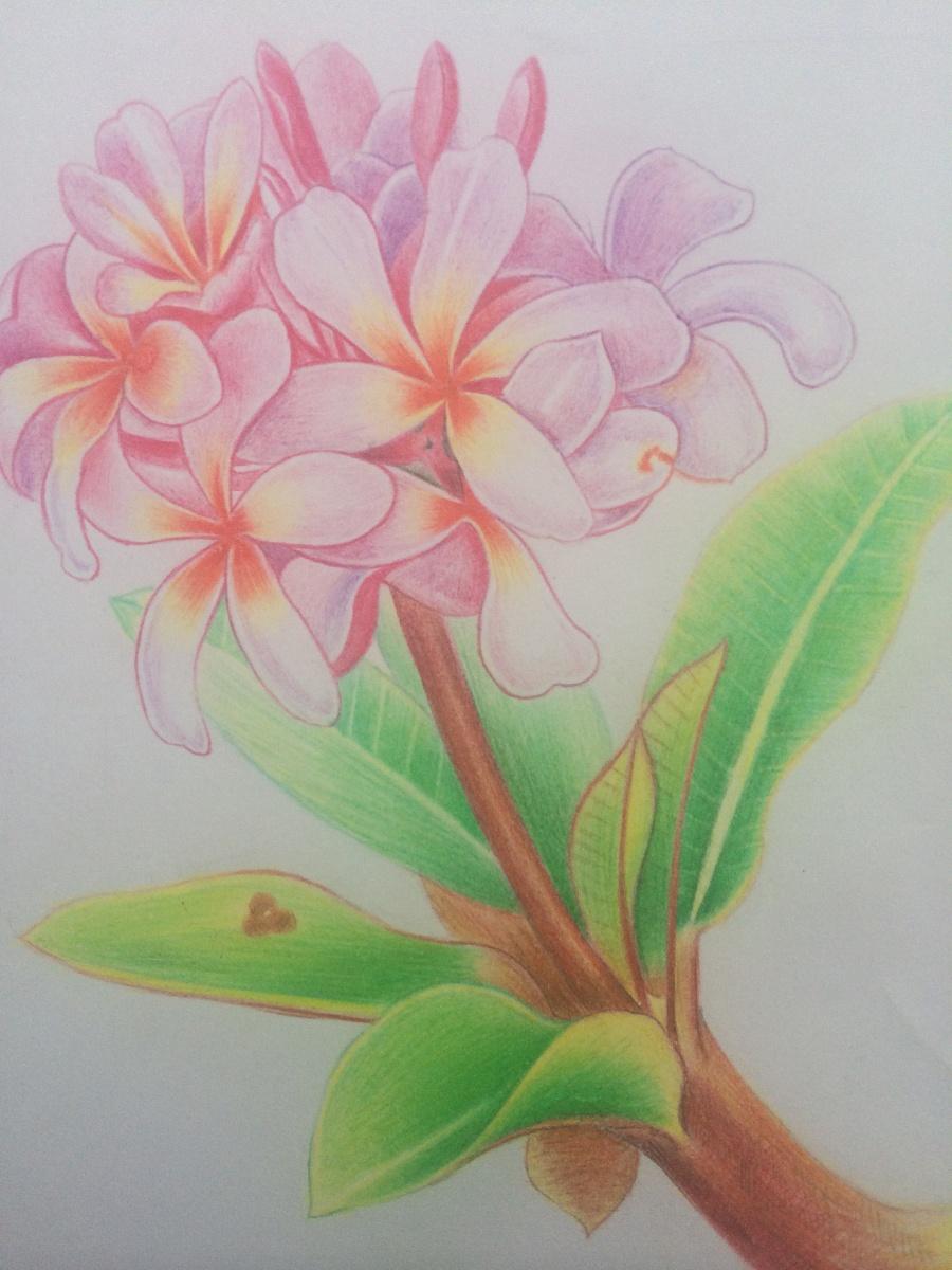 彩铅手绘鸡蛋花