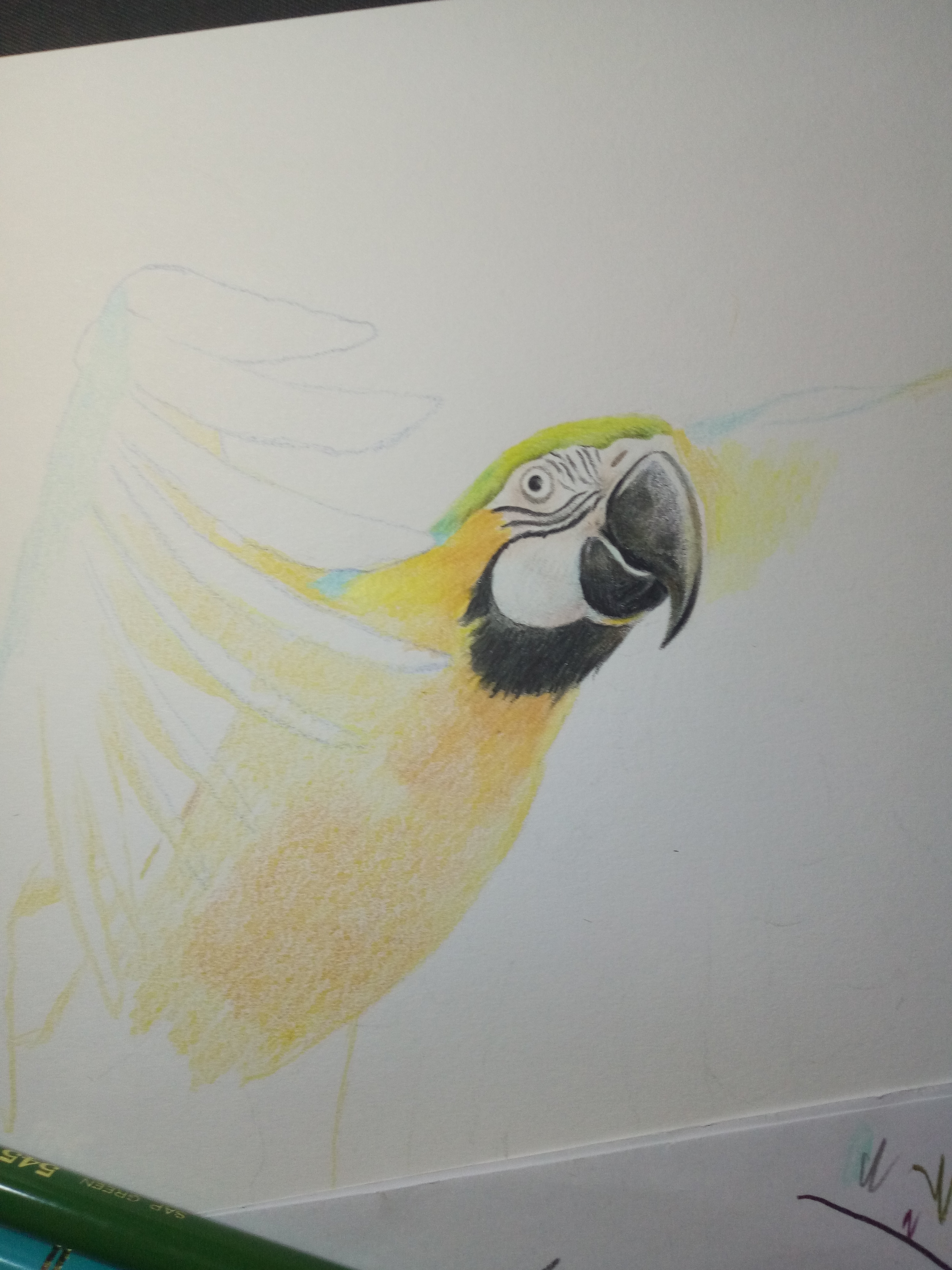 彩铅画鹦鹉