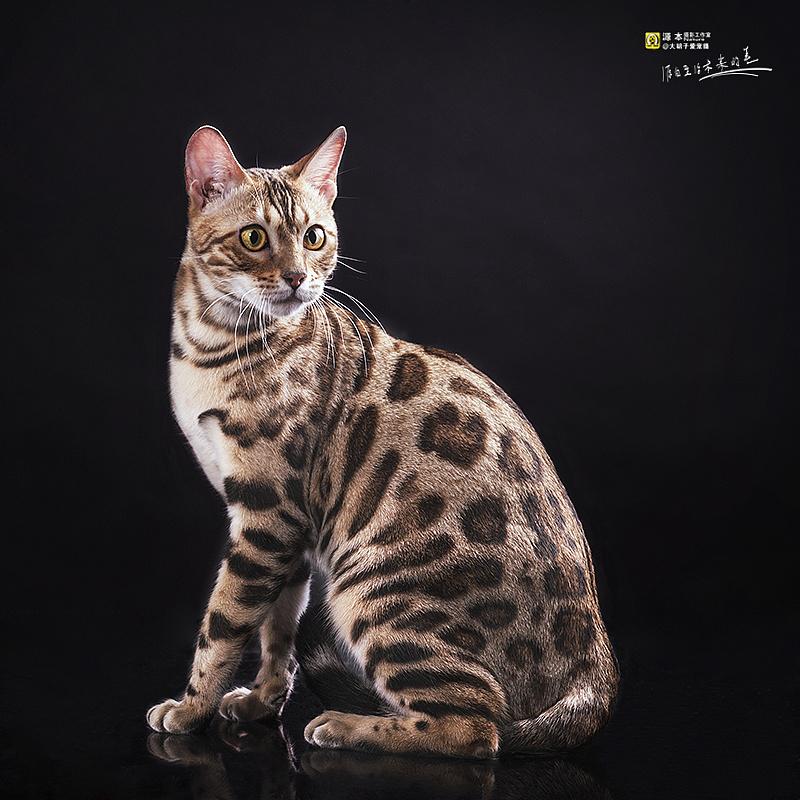 60厘米_豹猫|摄影|动物|naturephoto - 原创作品 - 站酷 (ZCOOL)