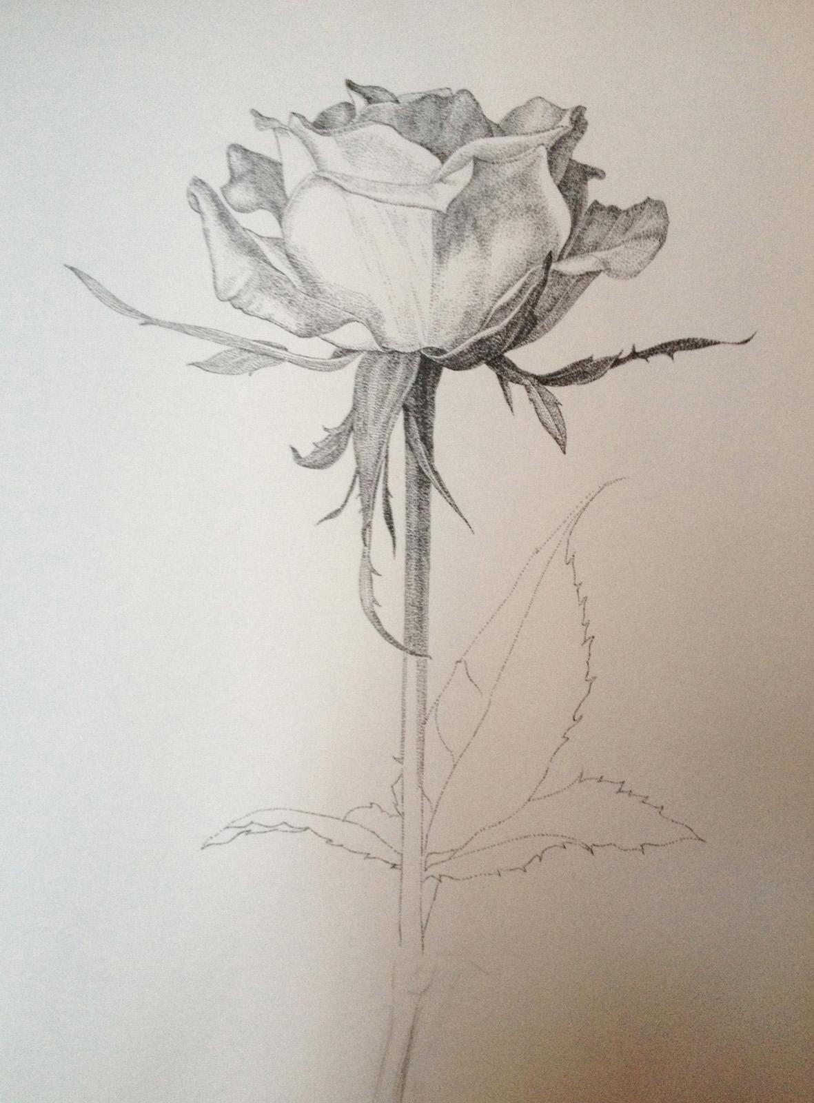 钢笔画-玫瑰