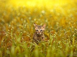 中国本土猫咪