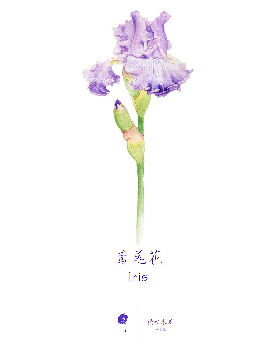水彩手绘--鸢尾花