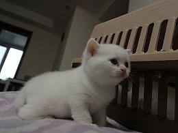 猫 161-英短-纯白-母-五粉-头无灰色毛-23-405g
