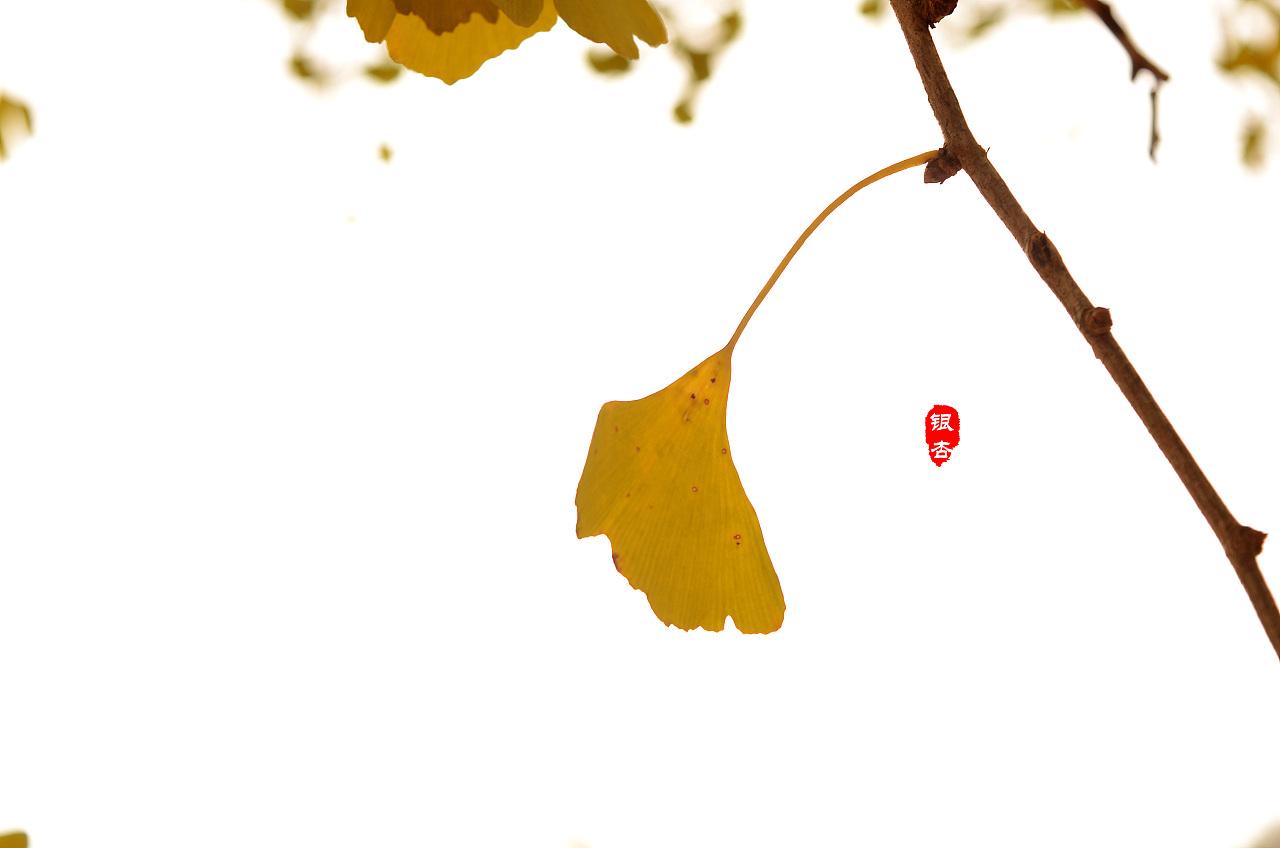 银杏平面手绘图例