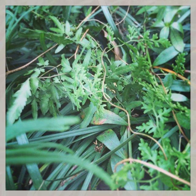 锈毛黄猄草