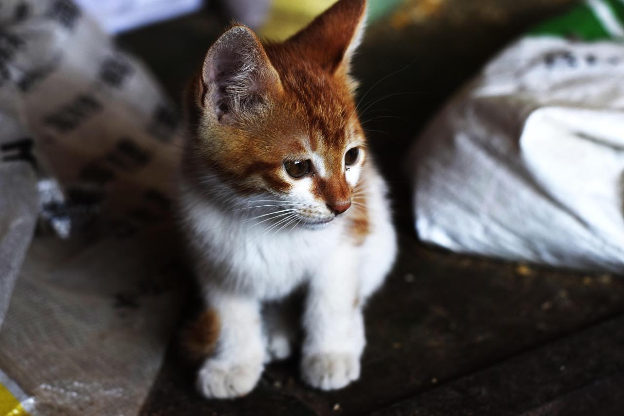 壁纸 动物 猫 猫咪 小猫 桌面 1280_853