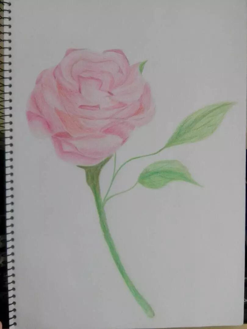 彩铅画玫瑰花教程分享展示图片