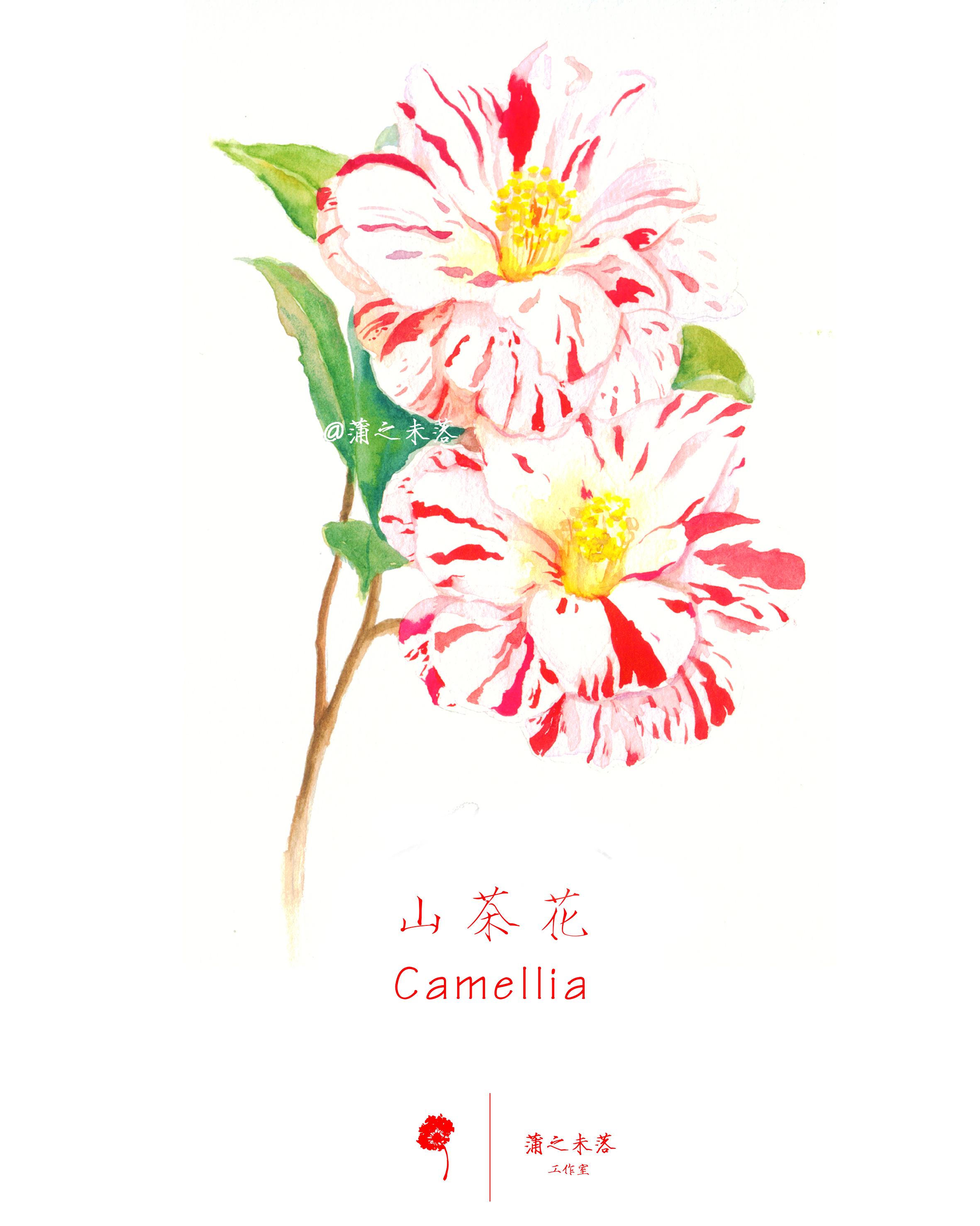 水彩手绘-山茶花图片