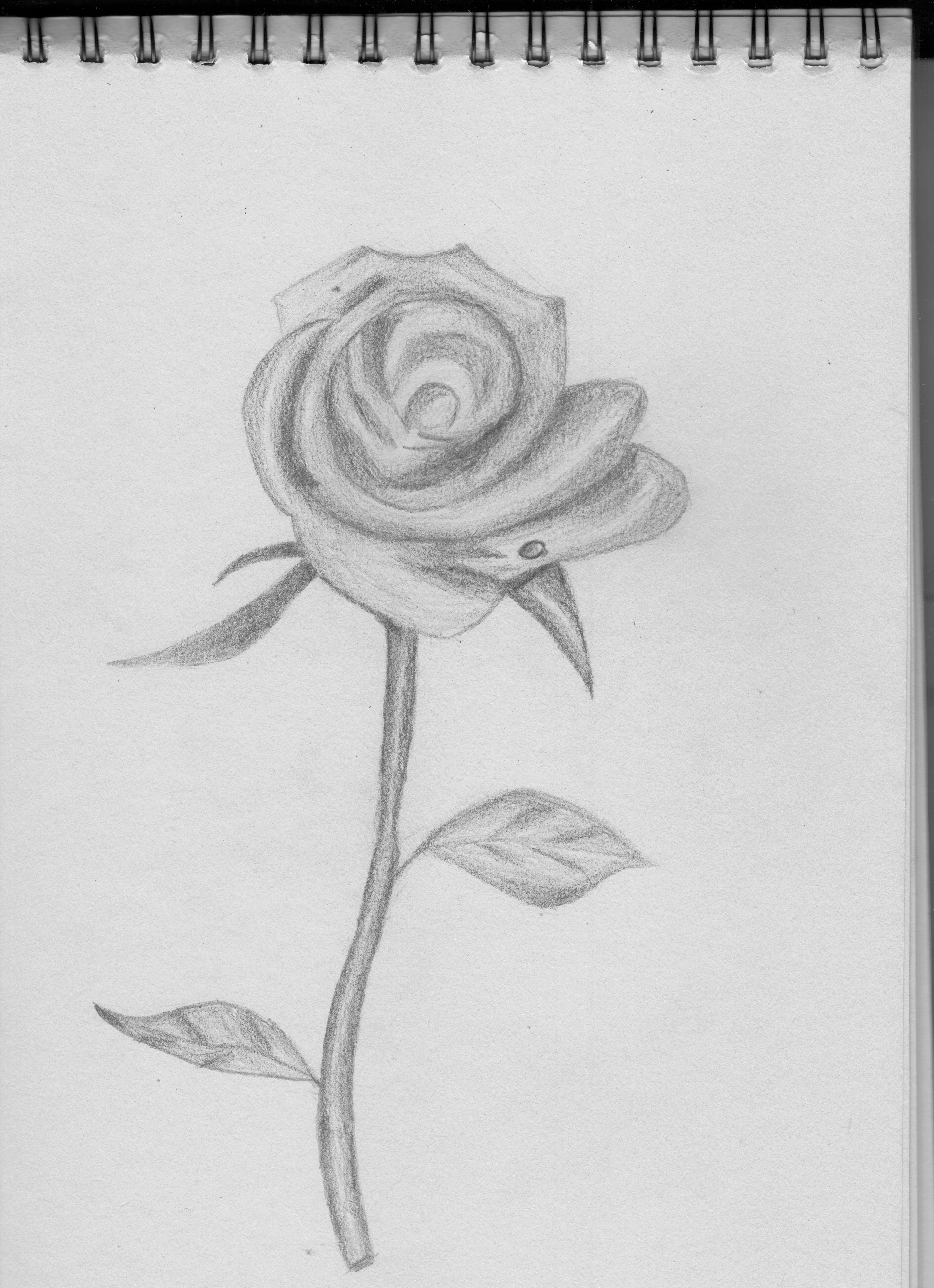 玫瑰 插画 插画习作 刘馨懿 - 原创作品 - 站酷