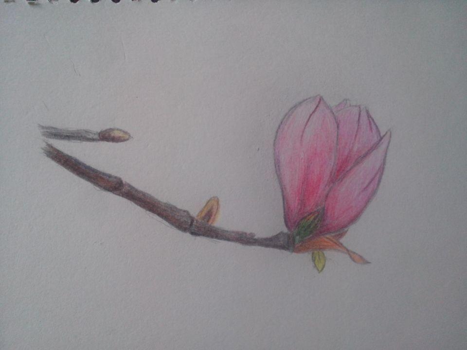 手绘木兰花