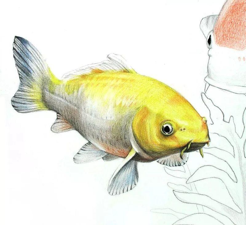 教程:彩色铅笔画步骤教程:幸运锦鲤的画法(原创文章)