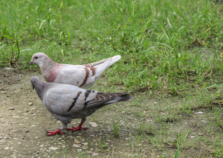 鸽子独唱简谱歌谱