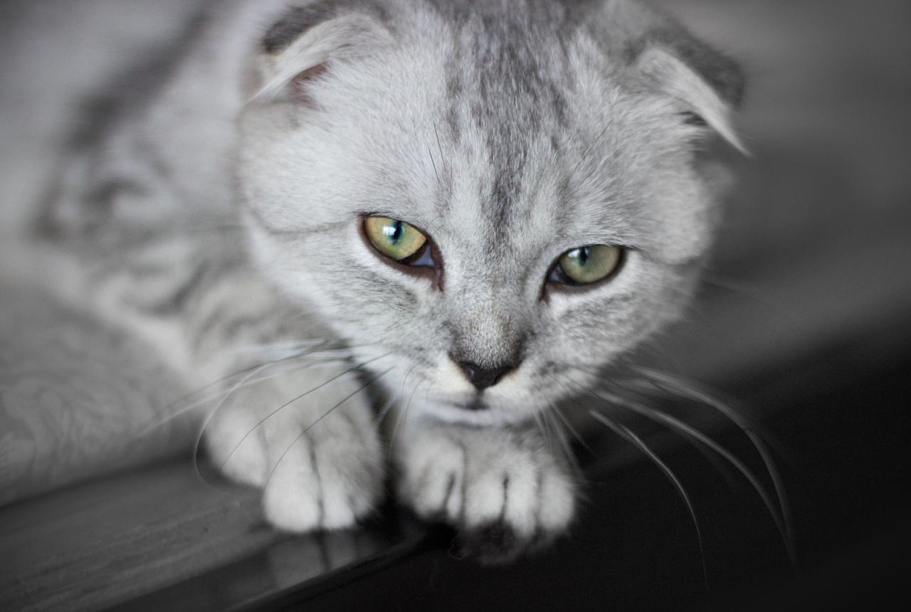 苏格兰折耳猫_折耳猫为什么不能养