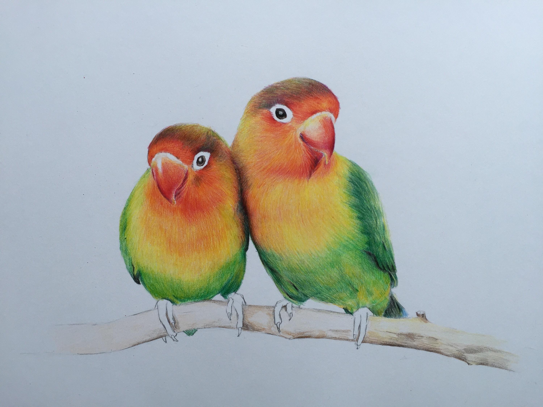 彩铅手绘—牡丹鹦鹉
