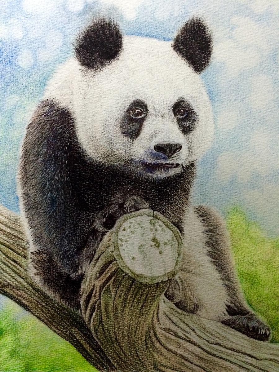 原创作品:彩铅手绘/熊猫