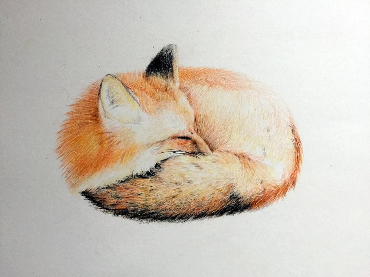 彩铅小狐狸|纯艺术|彩铅|yescabbage - 原创作品图片