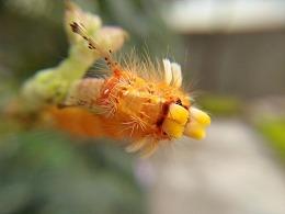 荔枝茸毒蛾幼虫