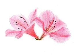 【驴大萌彩铅教程150】手绘杜鹃花 春天的鲜花