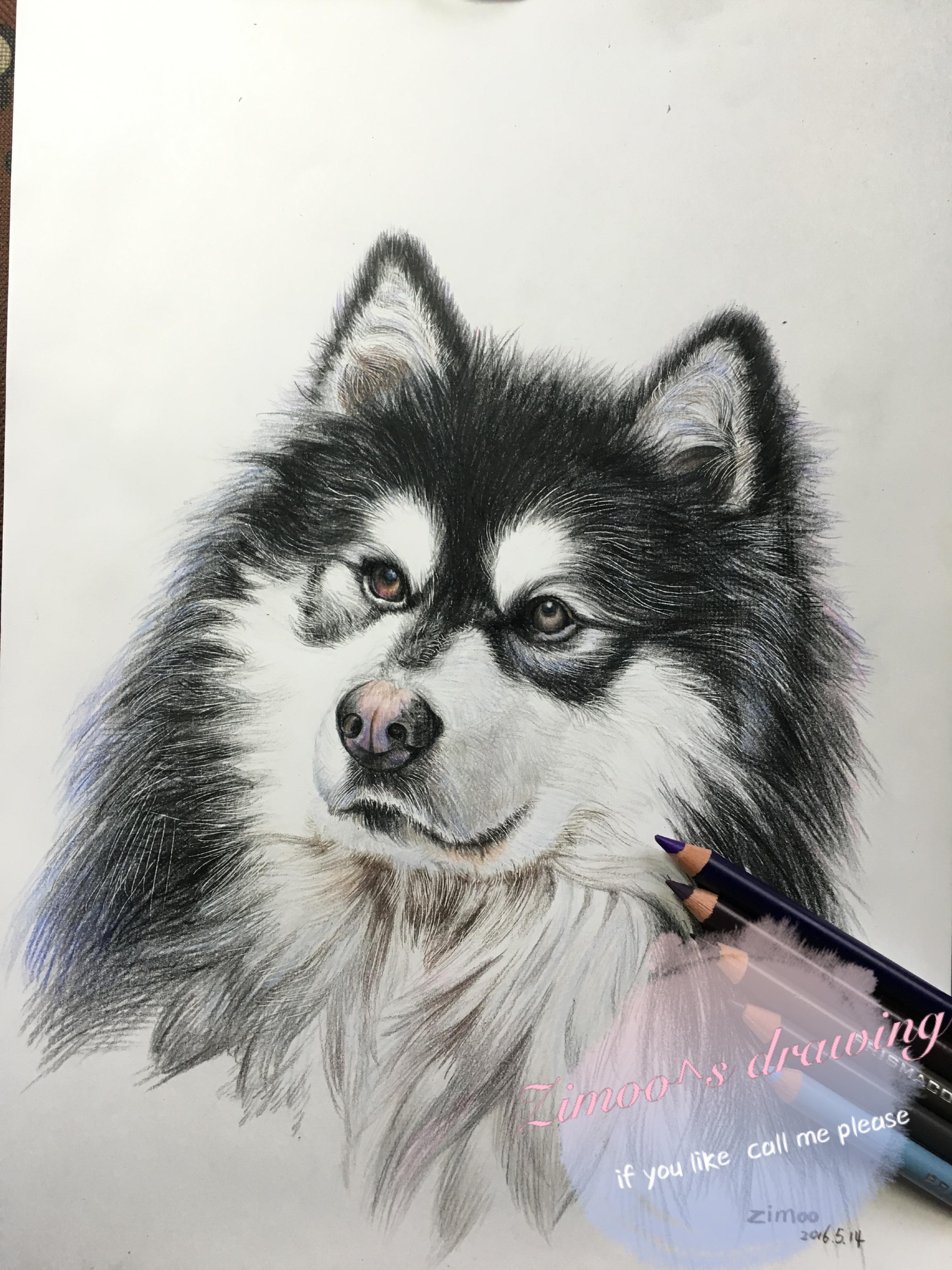 zimoo手绘彩铅动物——阿拉斯加