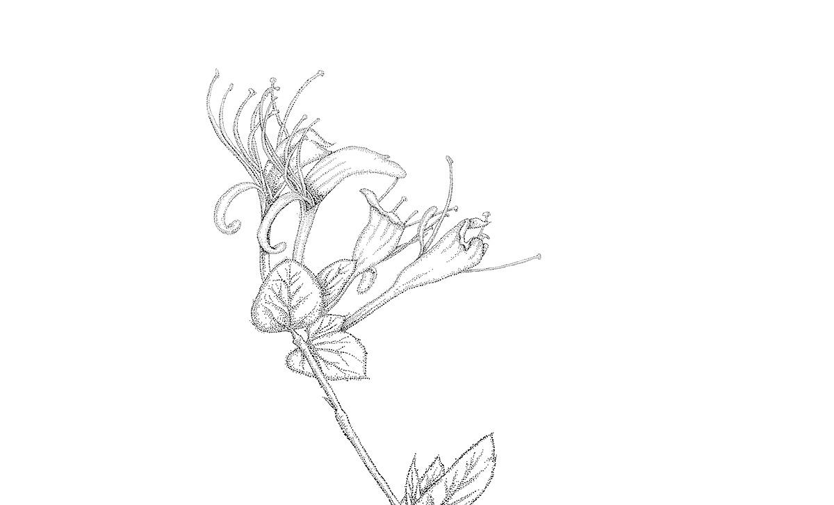 药材花卉手绘立面图