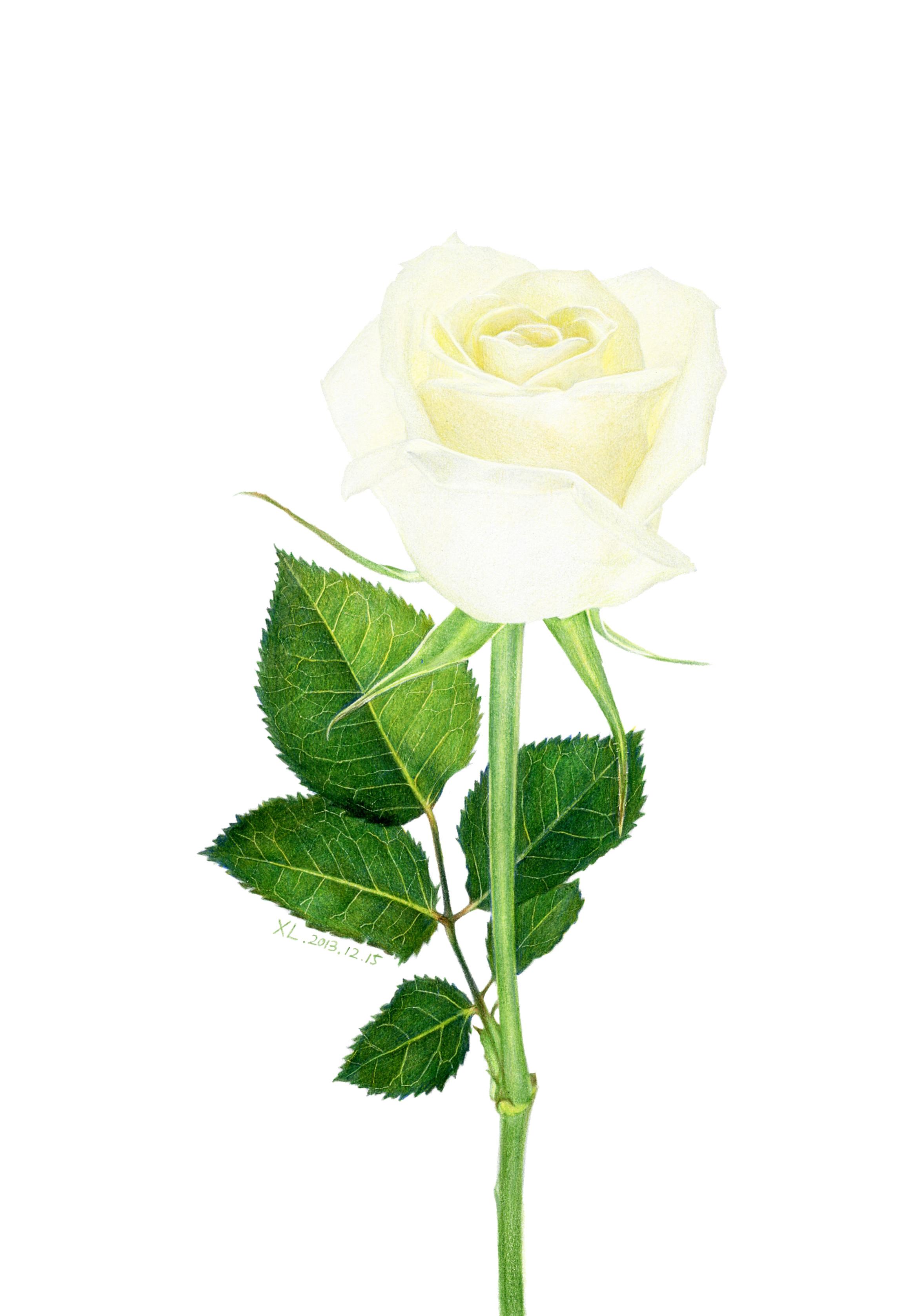 油性彩铅 白玫瑰 XL
