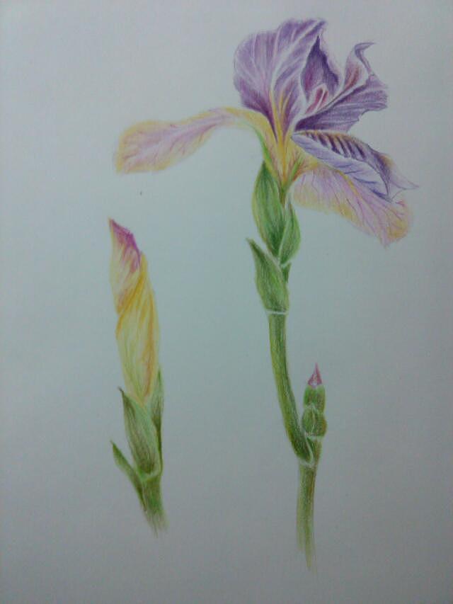 临摹-花类-彩铅