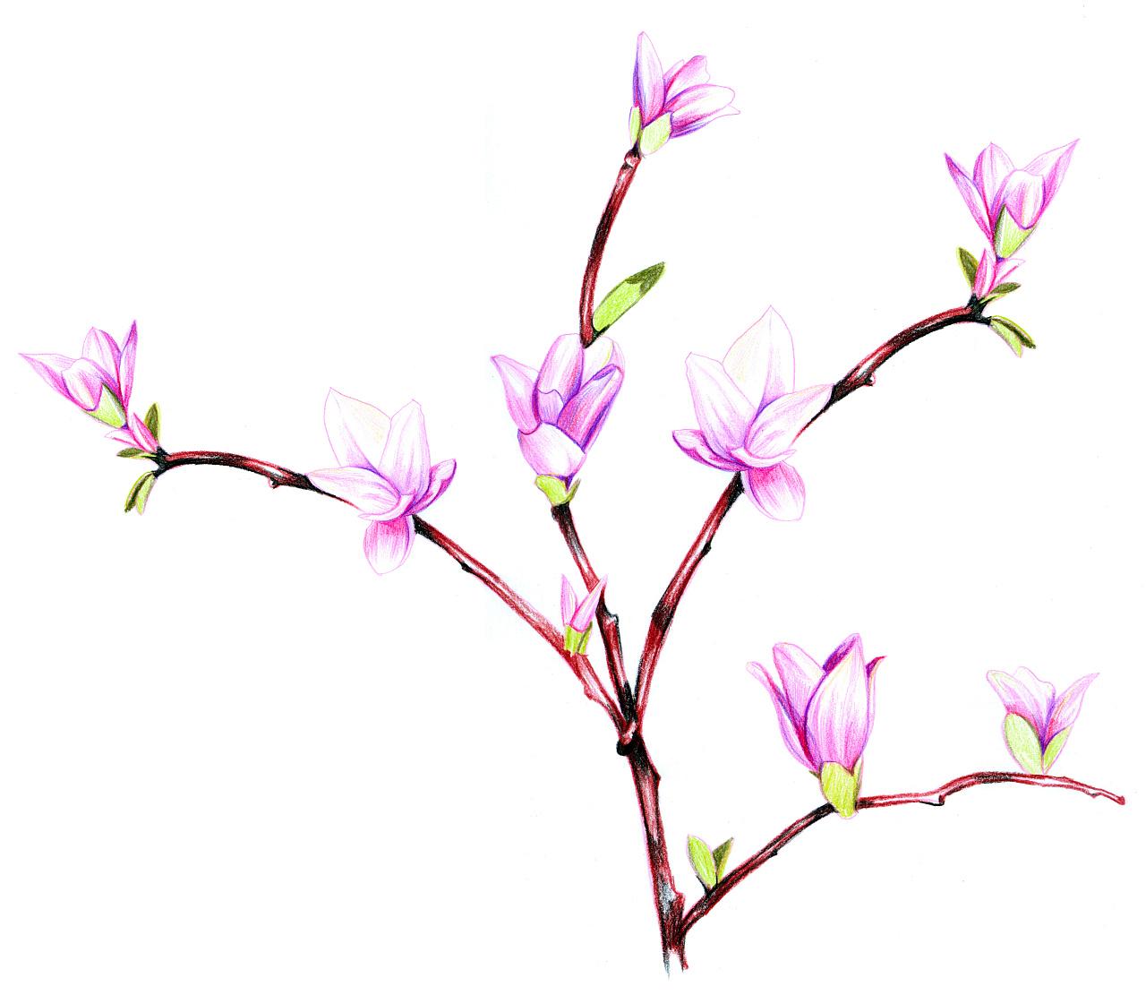 彩铅 兰花
