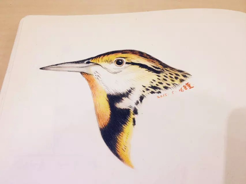 鸟头彩铅手绘