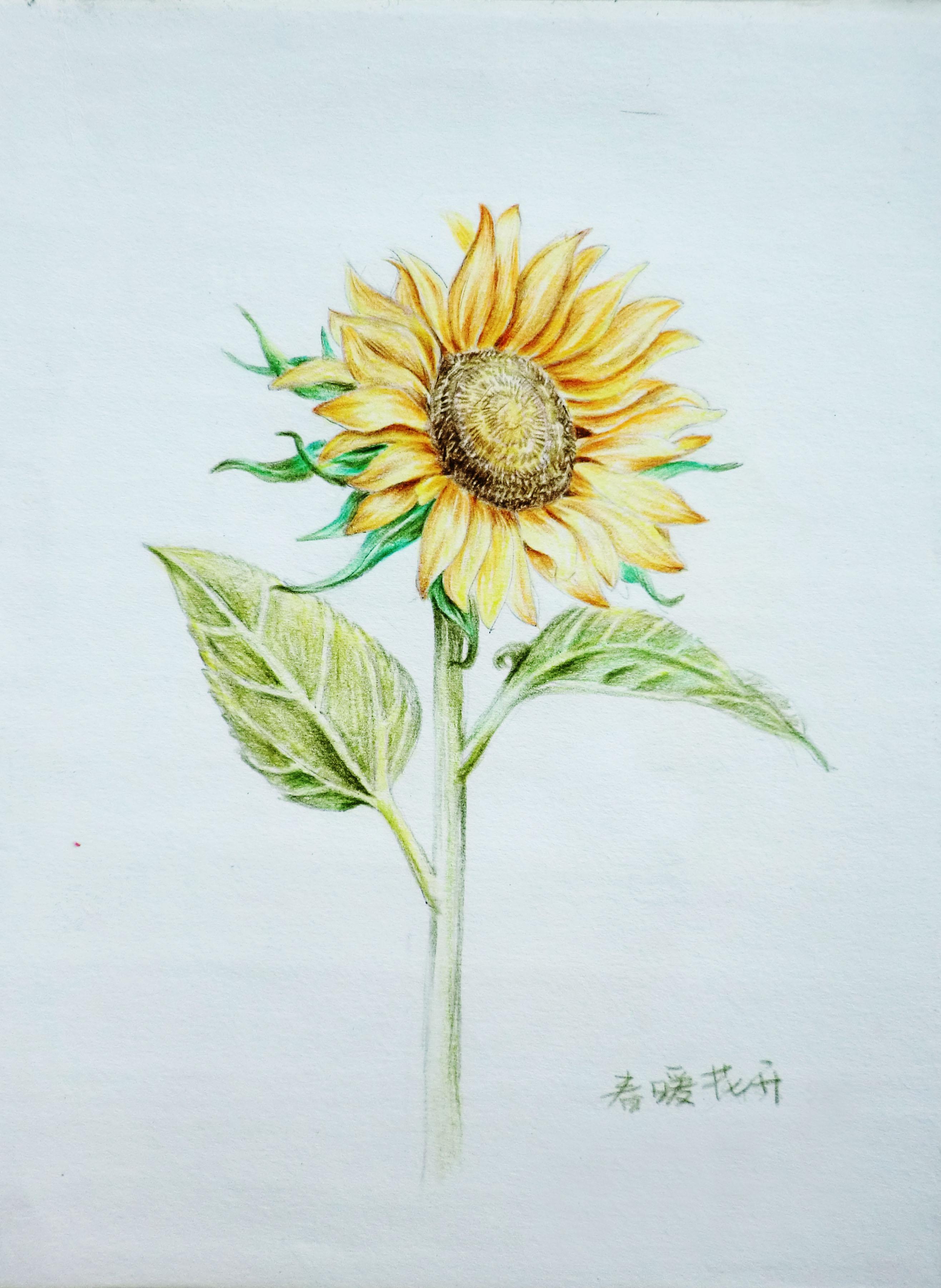 彩色铅笔手绘画 ---花 3