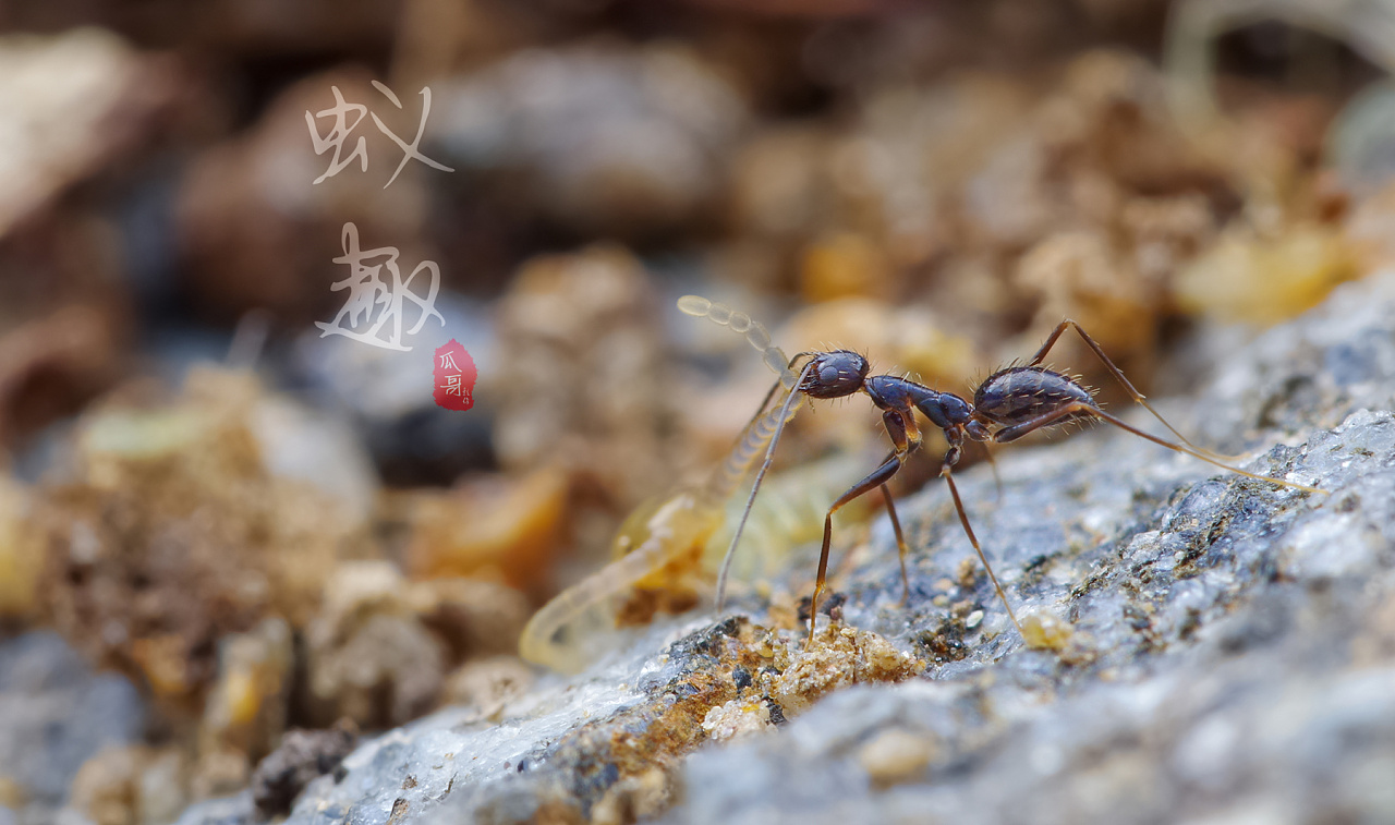 群体可以蚂蚁,一部分成了极品盘中餐季节这是的裸蛹,蜈蚣中的产后蛹蚂蚁仓鼠多久产卵换图片