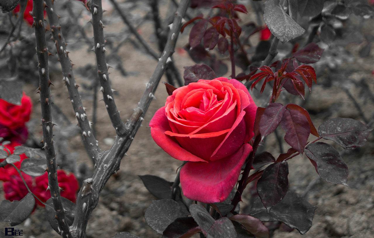 玫瑰刺图片_玫瑰刺设计素材_红动网