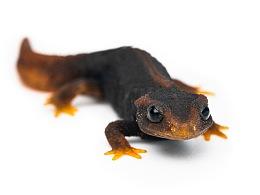 中国动物·两爬之美|红黑相间的奇妙生物-中国疣螈属