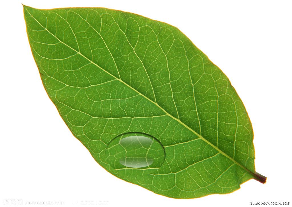 树叶上的水珠|平面|其他平面|gloria丽 - 原创作品图片