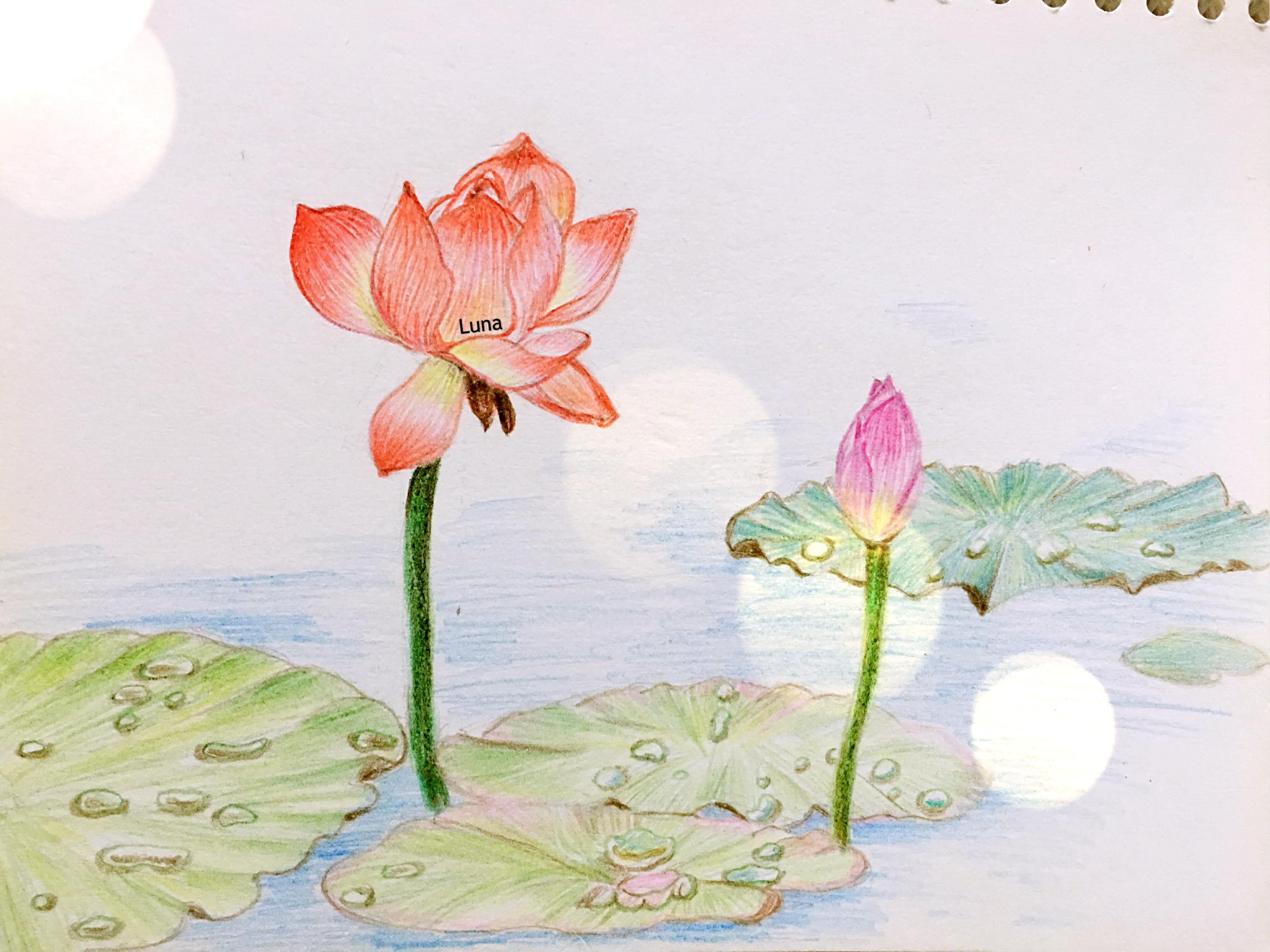 红莲花彩铅手绘练习