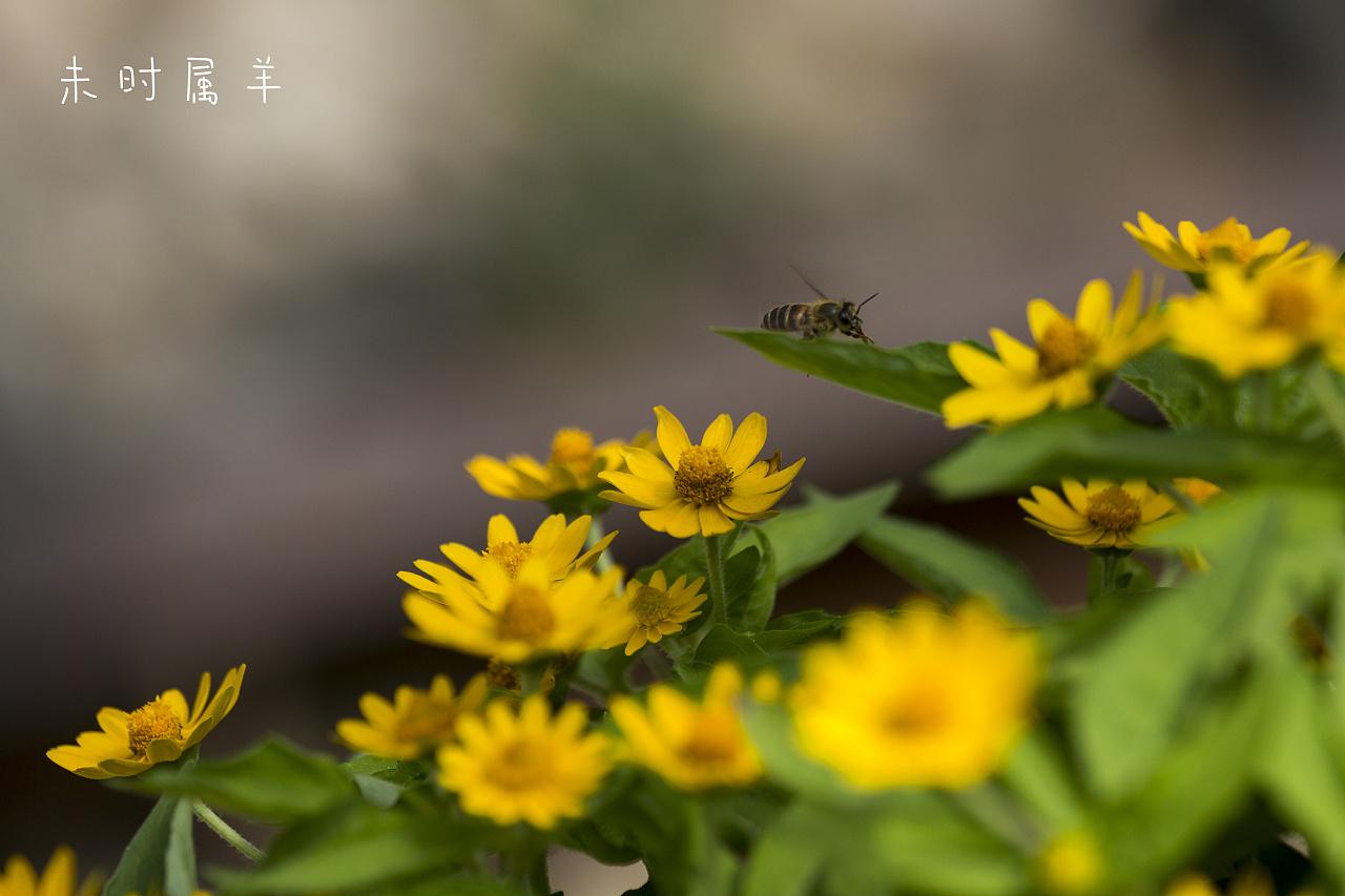 动物采蜜 v动物 苍蝇 未时属羊-原创作品-站酷.蜜蜂吃起来是有点甜的图片