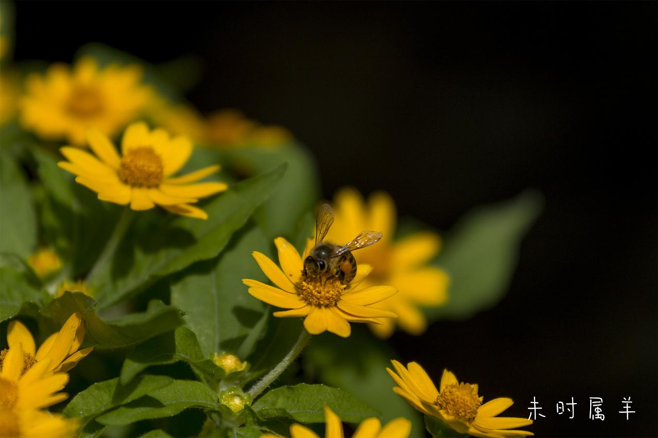 苍蝇采蜜 v苍蝇 动物 未时属羊-原创作品-站酷梦见剩的肉里都是蜜蜂图片