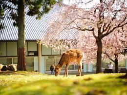 四月,和鹿一起看樱花