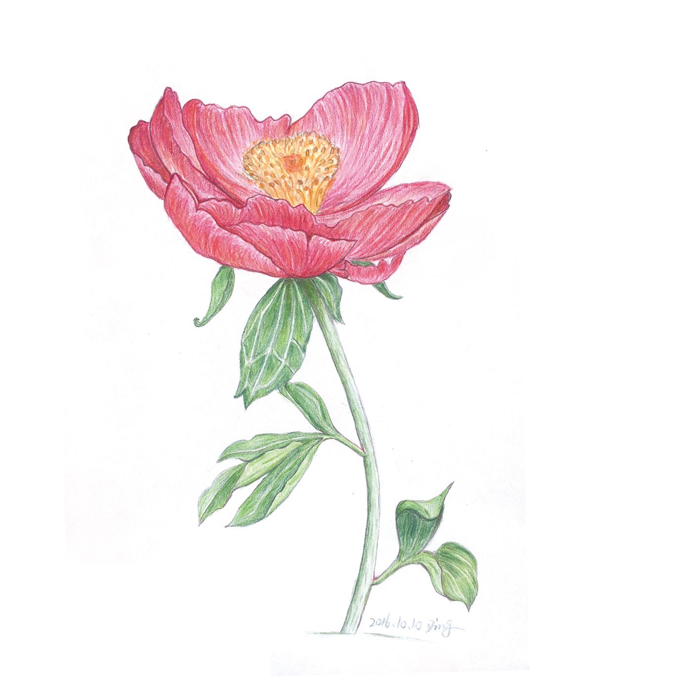 彩铅-芍药花,香豌豆