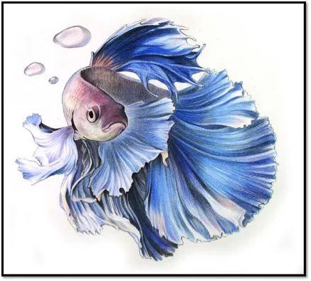 彩色铅笔画步骤教程:泰国斗鱼的画法图片