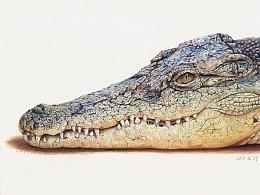 彩铅画《鳄鱼》